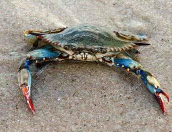 Blue Crab Discovery