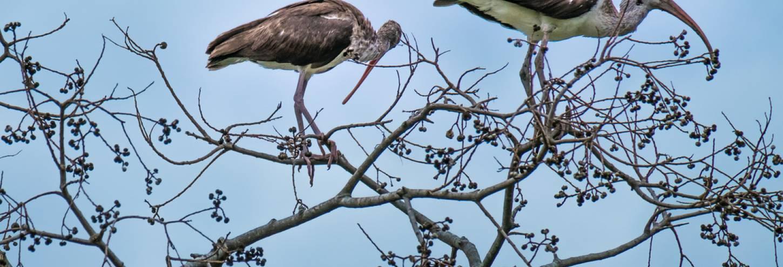 Birding at Pinckney Island